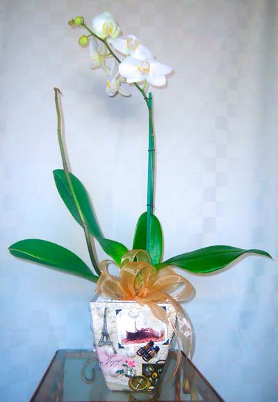 Planta de orquidea