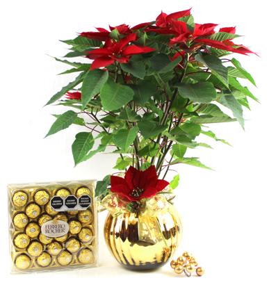 Planta Noche Buena Dorada & Ferrero Rocher
